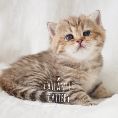 Tiger - Black Golden Shaded Tabby Girl